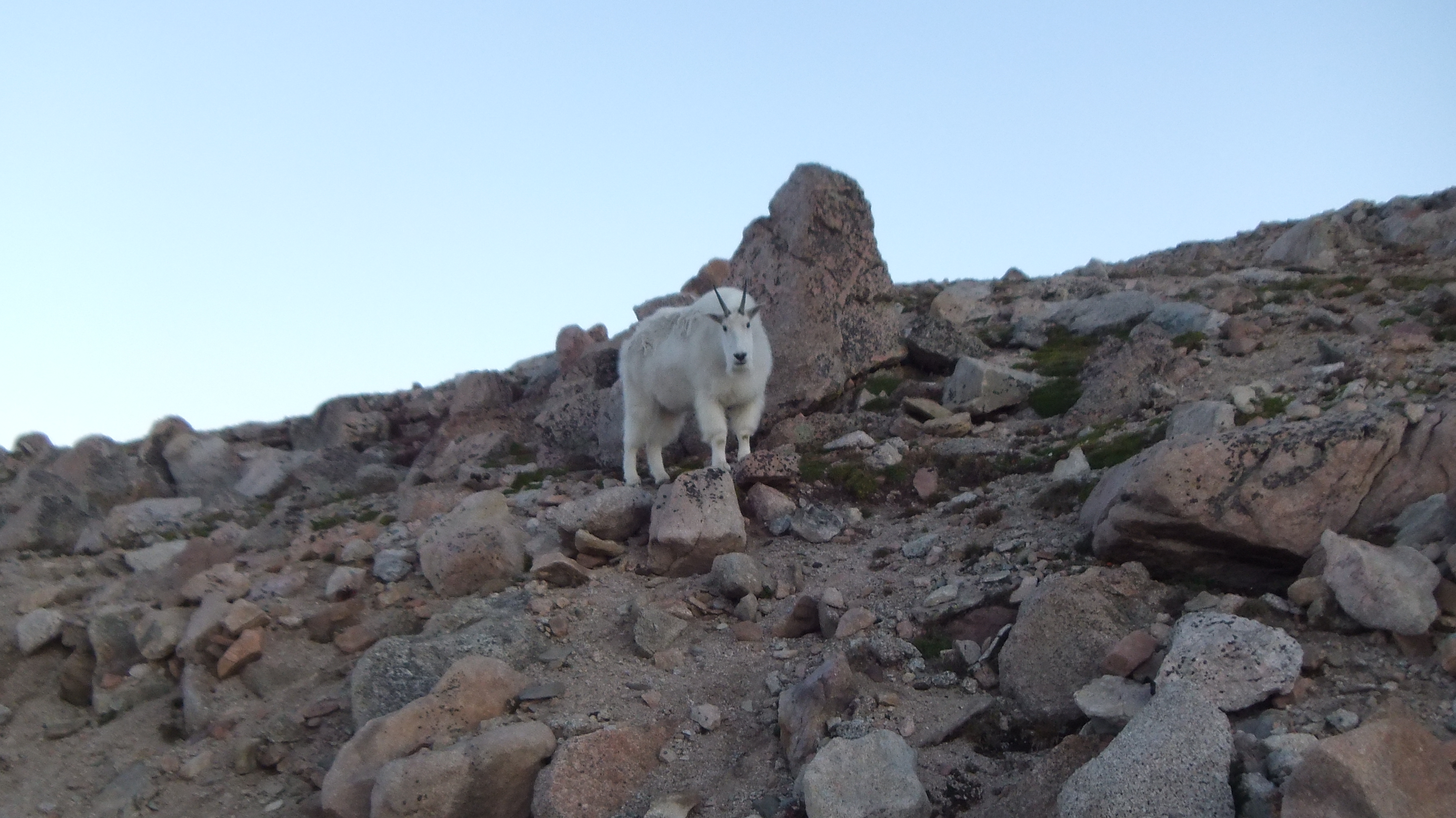 Wild Mountain Goat on Mt. Evans in Colorado